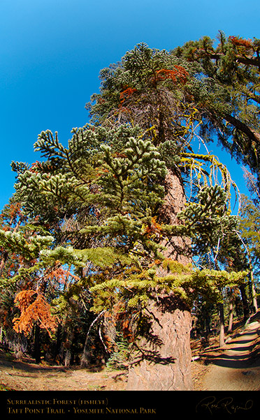 Surrealistic_Forest_Taft_Point_Trail_FE_X6811