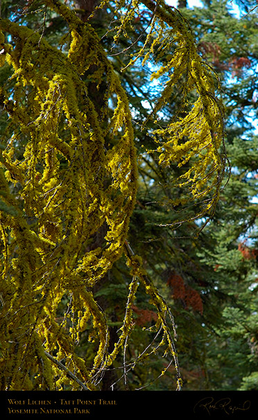 Wolf_Lichen_Taft_Point_Trail_3031