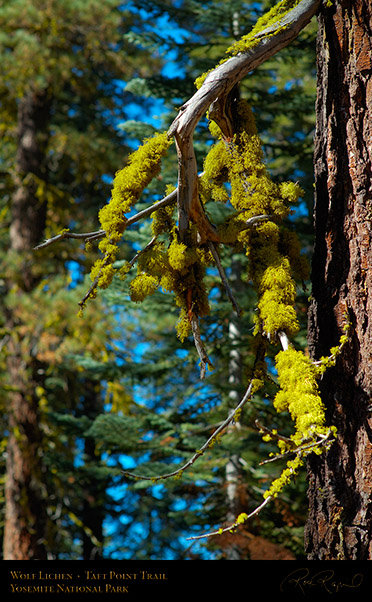 Wolf_Lichen_Taft_Point_Trail_X6666