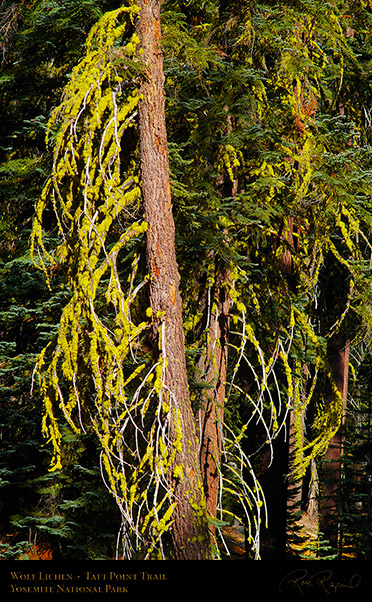 Wolf_Lichen_Taft_Point_Trail_X6794