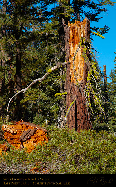 Wolf_Lichen_on_Stump_Taft_Point_Trail_X6661