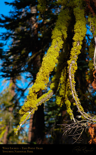 Wolf_Lichen_Taft_Point_Trail_X6809