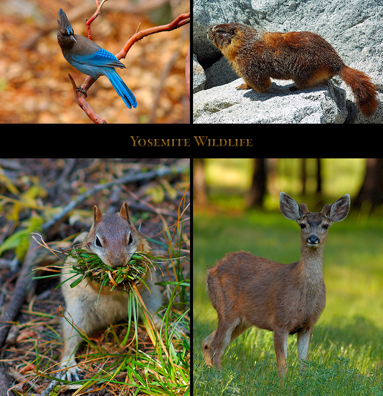 Yosemite_Wildlife