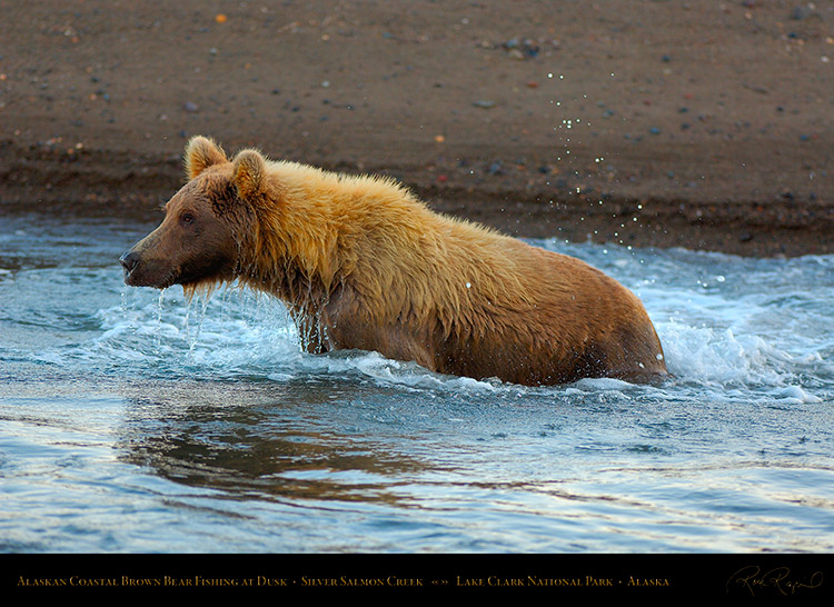 BrownBear_Fishing_atDusk_X3614