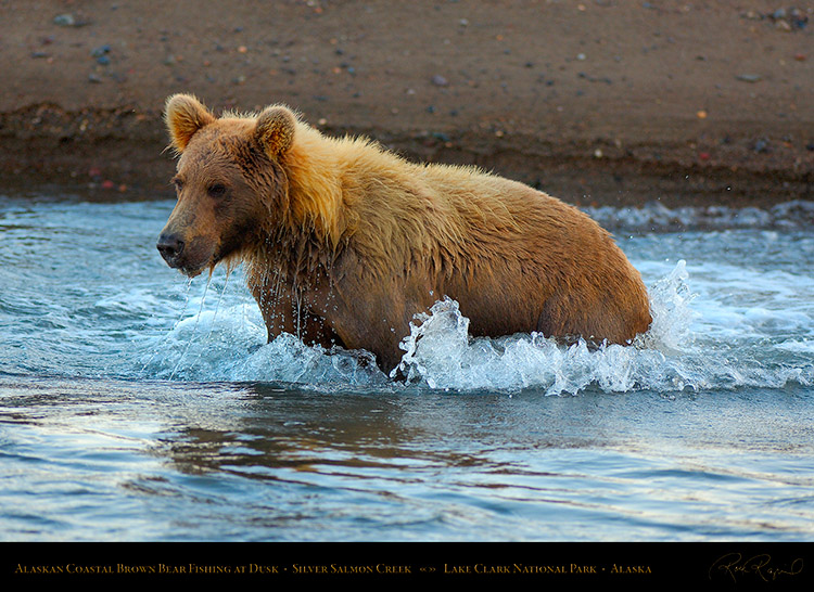 BrownBear_Fishing_atDusk_X3617