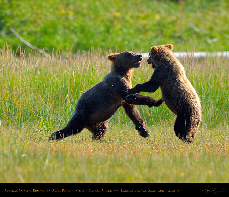 BrownBearCubs_Playing_X2831M