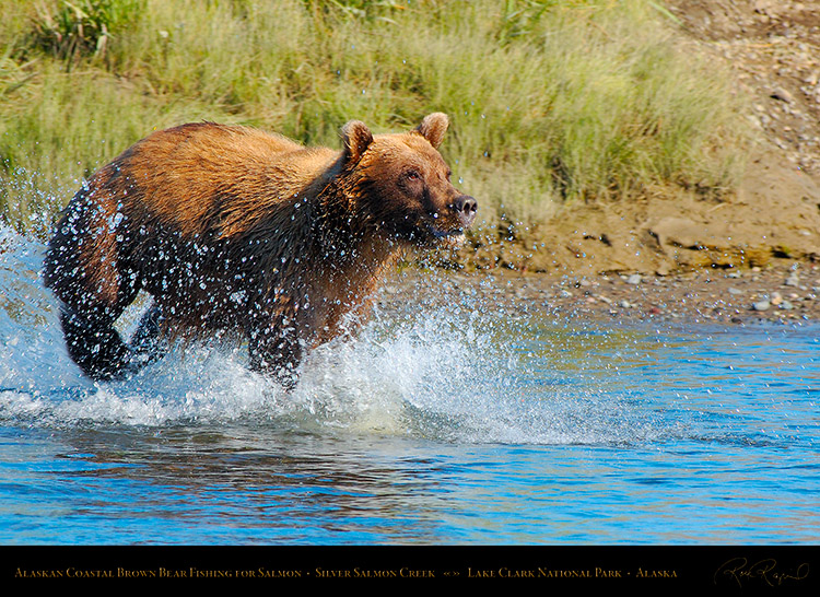 BrownBear_Fishing_X3863