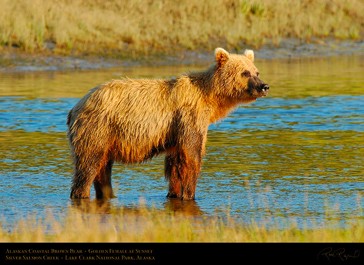 BrownBear_GoldenFemale_atSunset_X3075