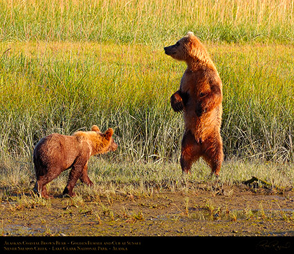 BrownBear_GoldenFemale_andCub_HS2308c_M