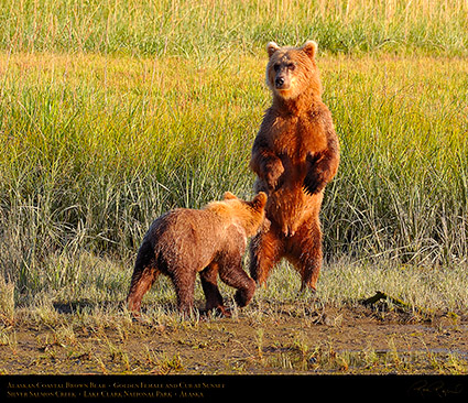 BrownBear_GoldenFemale_andCub_HS2310c_M