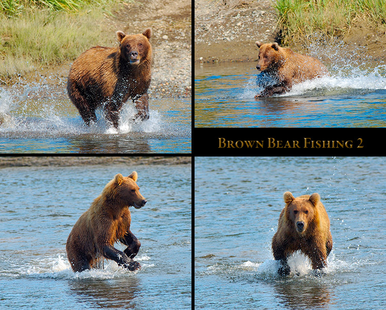 BrownBear_Fishing_2