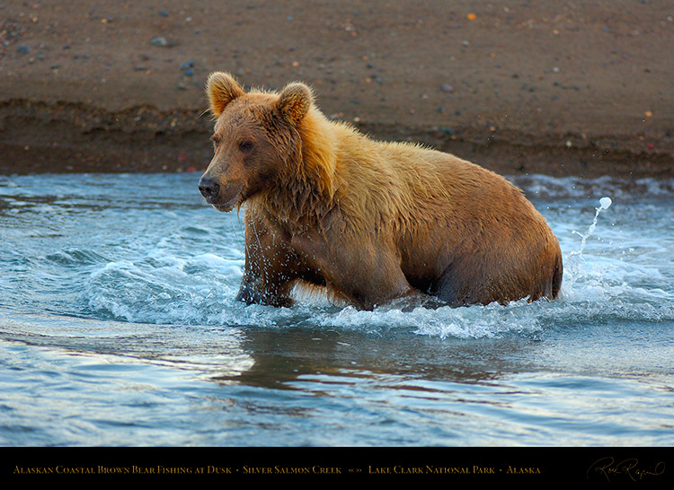 BrownBear_Fishing_atDusk_X3618