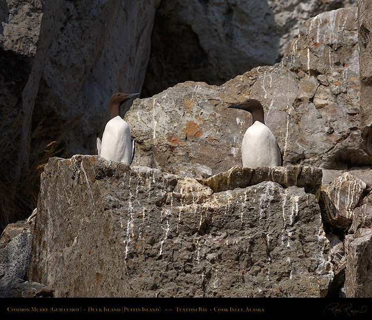 CommonMurres_HS2390M