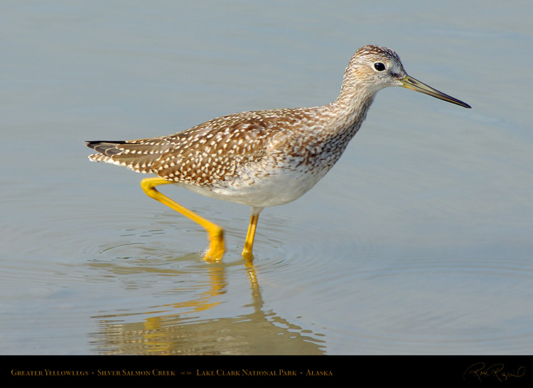 GreaterYellowlegs_X2947