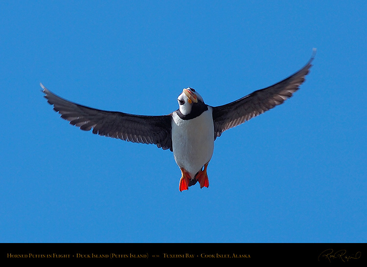 HornedPuffin_inFlight_HS2572