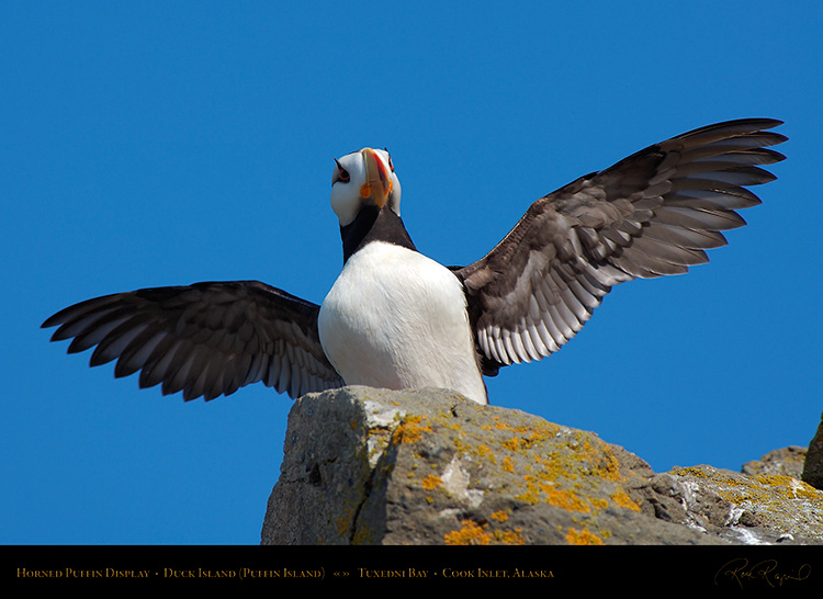 HornedPuffin_Display_X3323