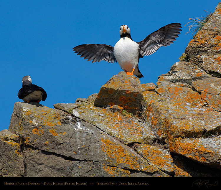 HornedPuffin_Display_X3400M