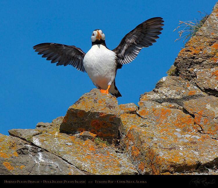 HornedPuffin_Display_X3401M
