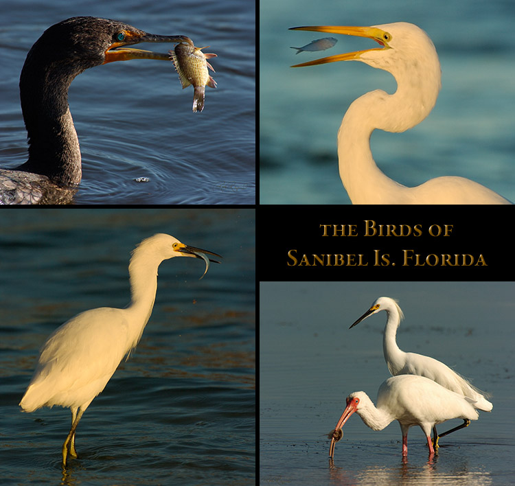 Birds_ofSanibel