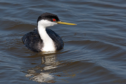 WesternGrebe_X4544