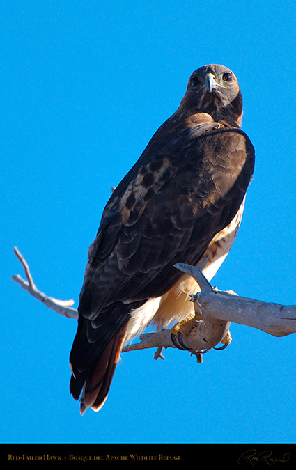 Red-Tailed_Hawk_X9080M