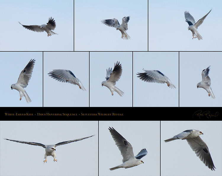 White-Tailed_Kite_HoveringSequence_SXL