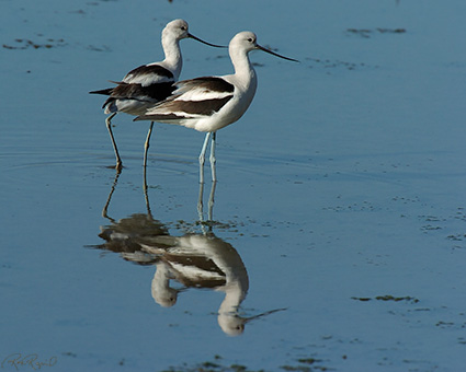 AmericanAvocets_4227M