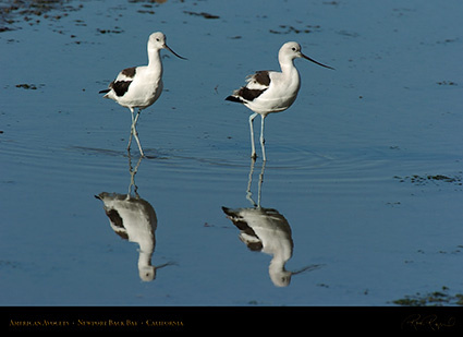 AmericanAvocets_4232