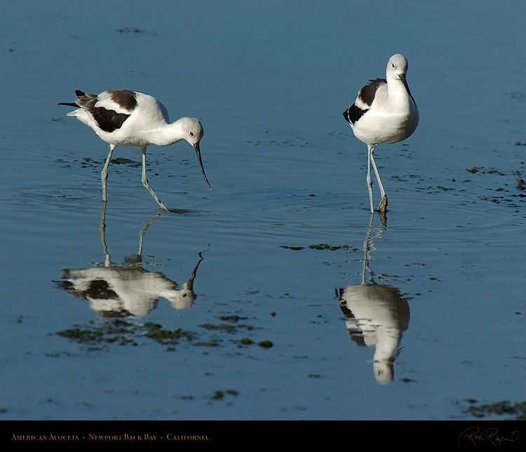 AmericanAvocets_4235M