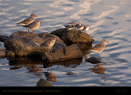 BB_Plovers_LeastSandpipers_HS6044