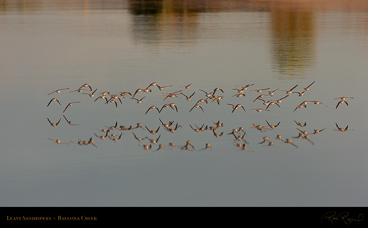 LeastSandpipers_Flight_HS5959