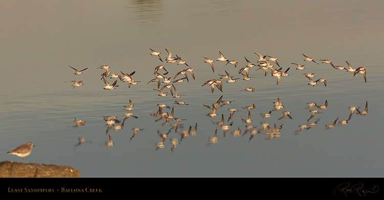 LeastSandpipers_Flight_HS5967