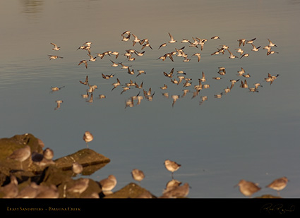 LeastSandpipers_Flight_HS5969
