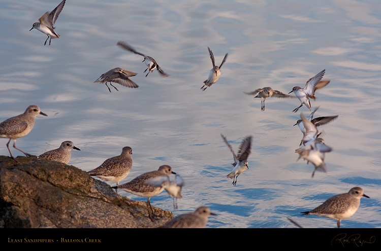 LeastSandpipers_HS6062