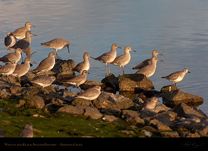 Willets_BlackBellied_Plovers_HS5985