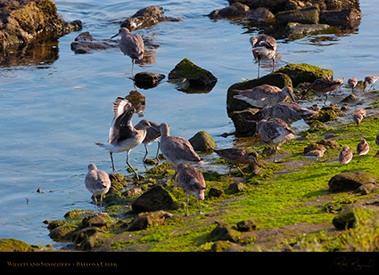 Willets_andSandpipers_HS9649