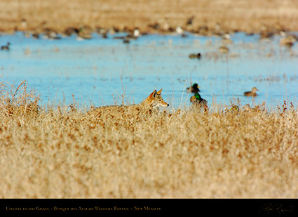 Coyote_in_theGrass_2608