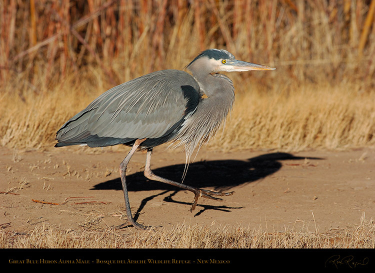 GreatBlueHeron_AlphaMale_1841