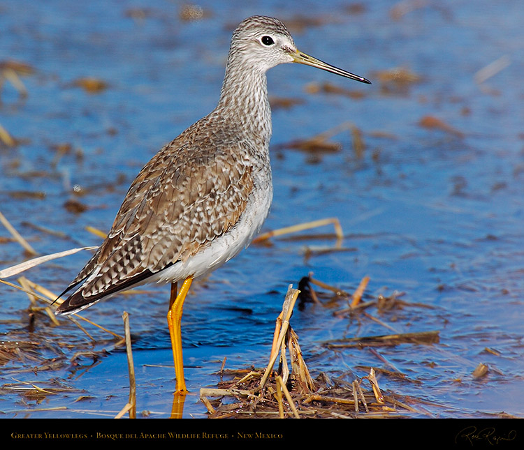 GreaterYellowlegs_4948M