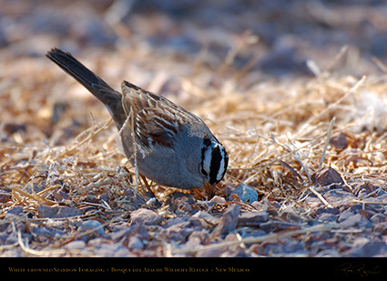 White-Crowned_Sparrow_Foraging_X6522