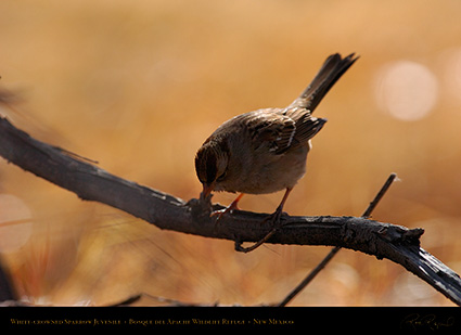 White-Crowned_Sparrow_Juvenile_2096