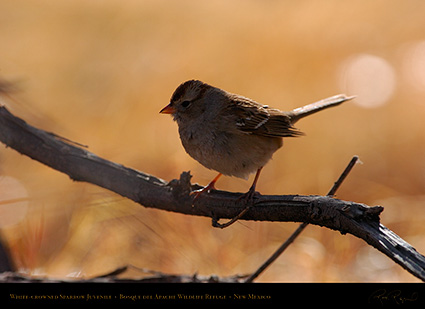 White-Crowned_Sparrow_Juvenile_2097