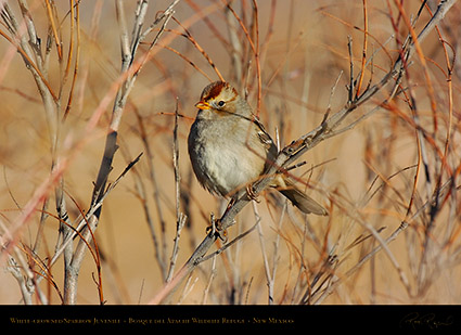 White-Crowned_Sparrow_Juvenile_5897