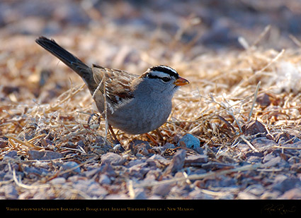 White-Crowned_Sparrow_X6524