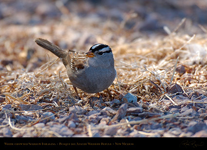 White-Crowned_Sparrow_X6533