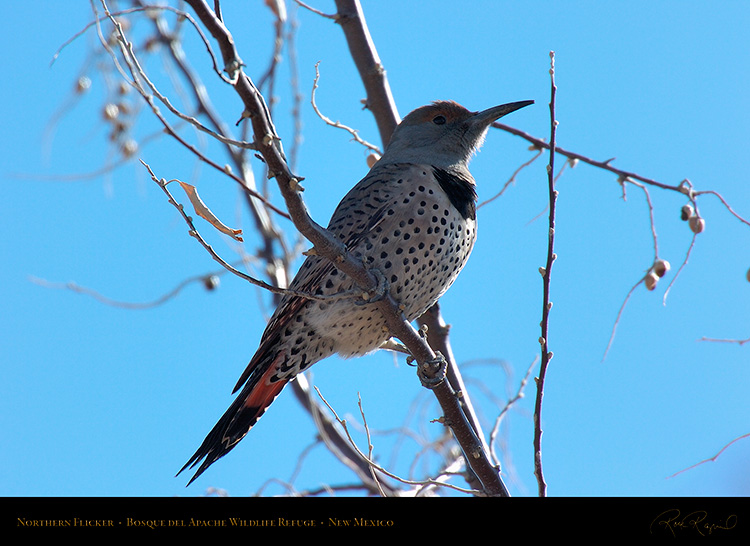 NorthernFlicker_5018