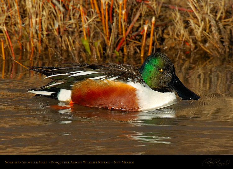 NorthernShoveler_5887c