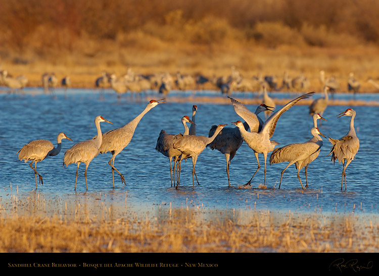 SandhillCrane_Behavior_X6718