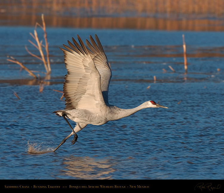 SandhillCrane_MorningFlyout_4755M