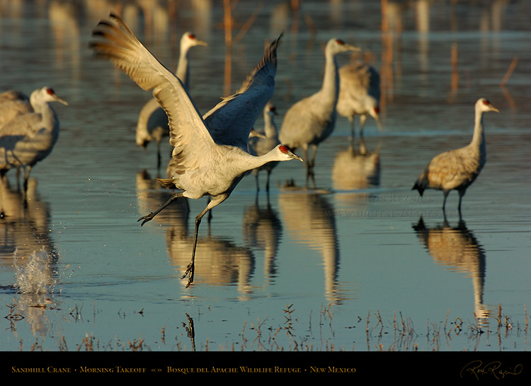 SandhillCrane_MorningTakeoff_4784